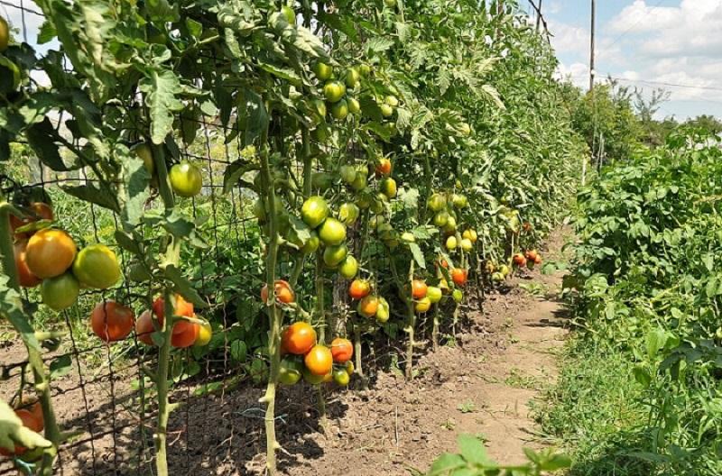 Шпалера для помидоров своими руками фото