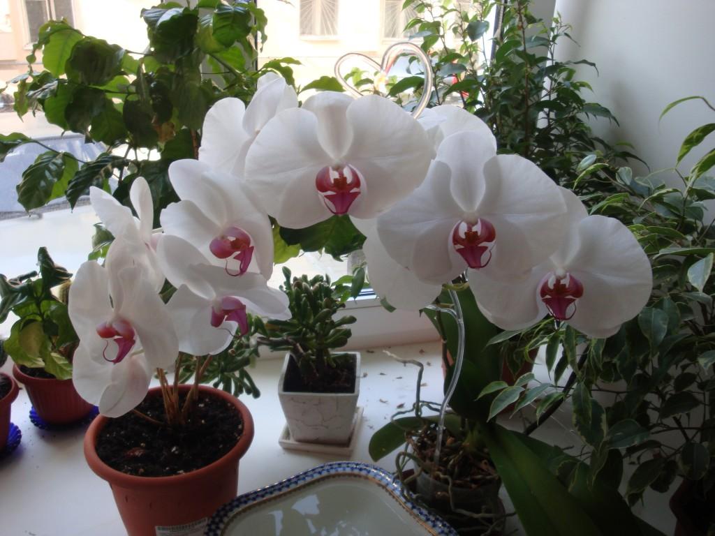 Цветок орхидея. уход