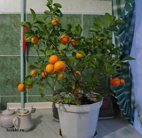 Как вырастить мандарин из косточки в домашних. - Идеальный дом