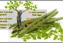 Чудесное дерево, которое может излечить 300 заболеваний, включая опухоли и диабет