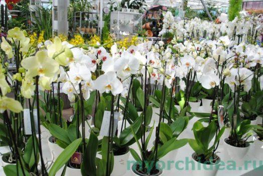 Размножение орхидеи Фаленопсис 76