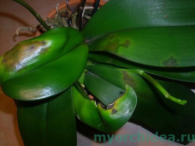 zabolevaniya-falenopsisa-foto