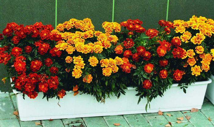 Рассада цветов в феврале и начале марта » что сажать…
