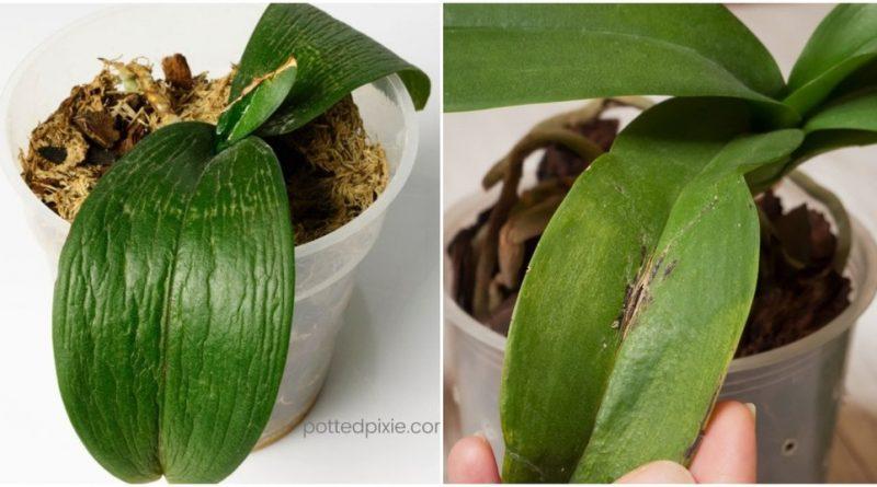 Рубрика полезных советов: как спасти умирающую орхидею за 5 шагов