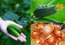 Поливаю огурцы луковой шелухой: листья не желтеют и плодоносят как сумасшедшие