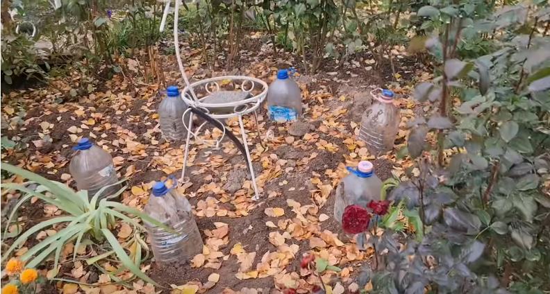Не замерзнут, не сопреют: идеальное укрытие для роз на зиму